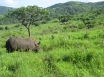 Rhinos in Hluhluwe Nature Reserve!